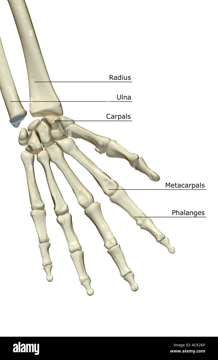 Schön Knochen Hand Fotos - Physiologie Von Menschlichen ...