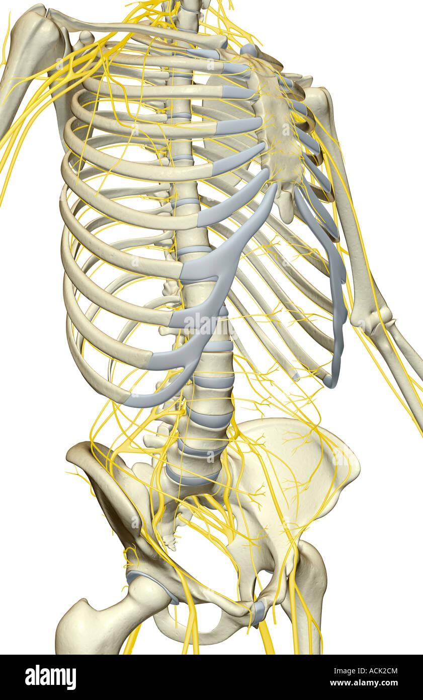 Die Nerven des Rumpfes Stockfoto, Bild: 13175155 - Alamy