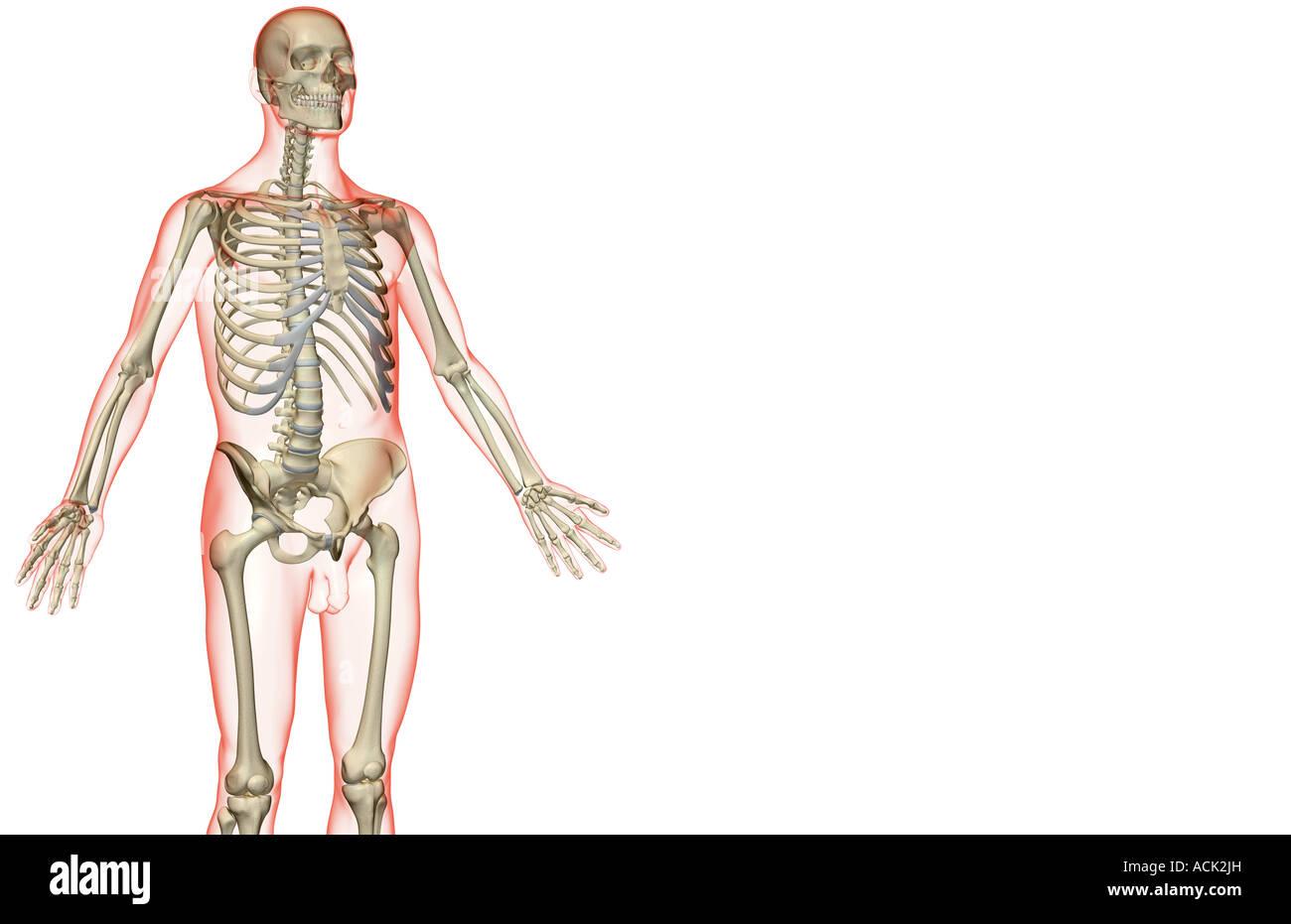 Ungewöhnlich Ober Anatomie Des Menschlichen Körpers Bilder ...
