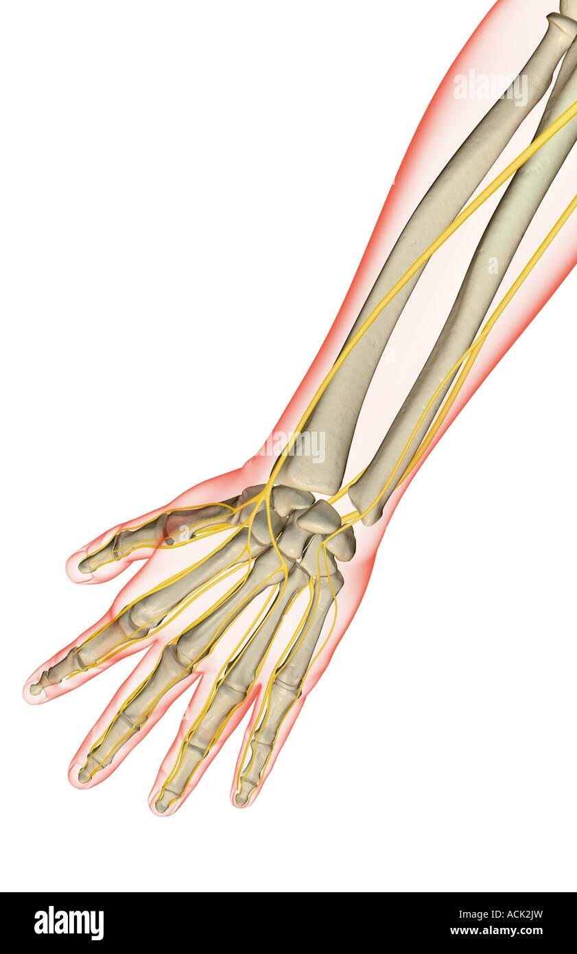 Die Nerven des Unterarms Stockfoto, Bild: 13175232 - Alamy