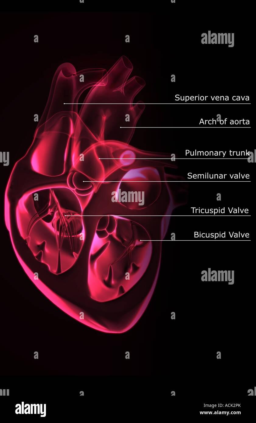Sektionaltore Anatomie des Herzens Stockfoto, Bild: 13175274 - Alamy