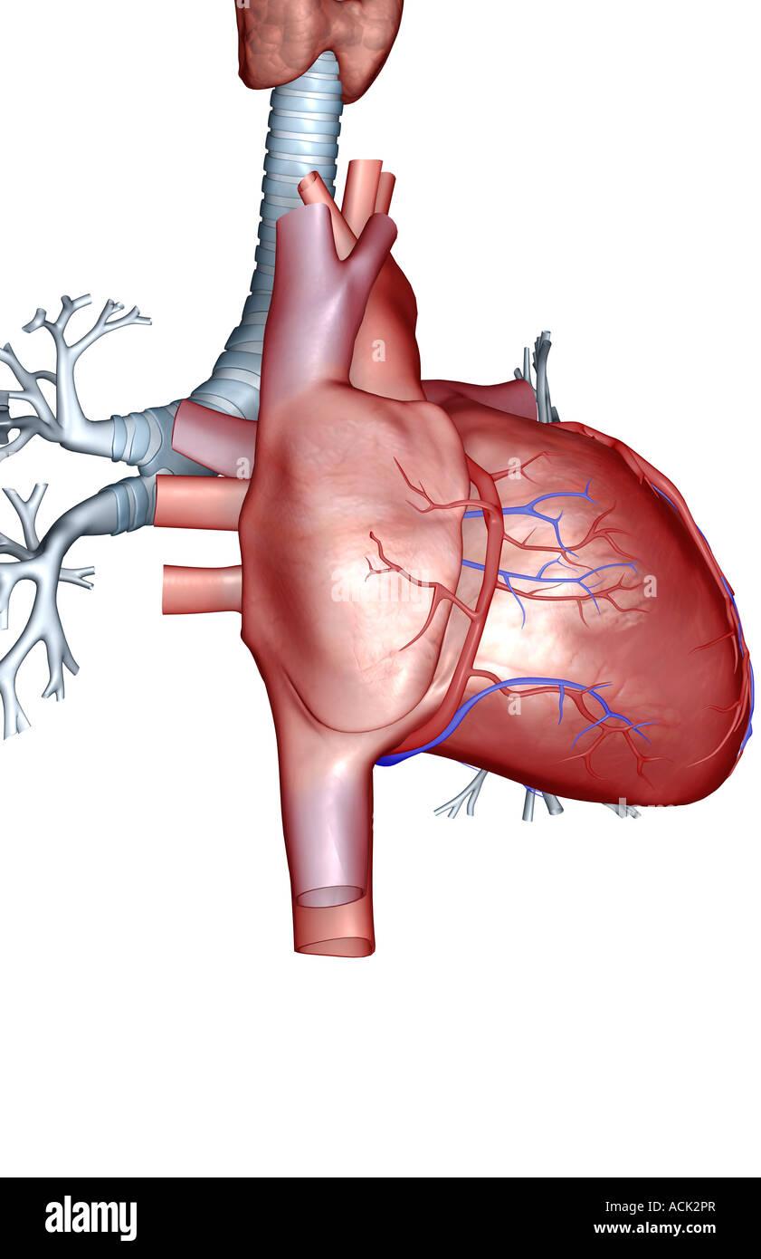 Heart Anterior View Stockfotos & Heart Anterior View Bilder - Alamy