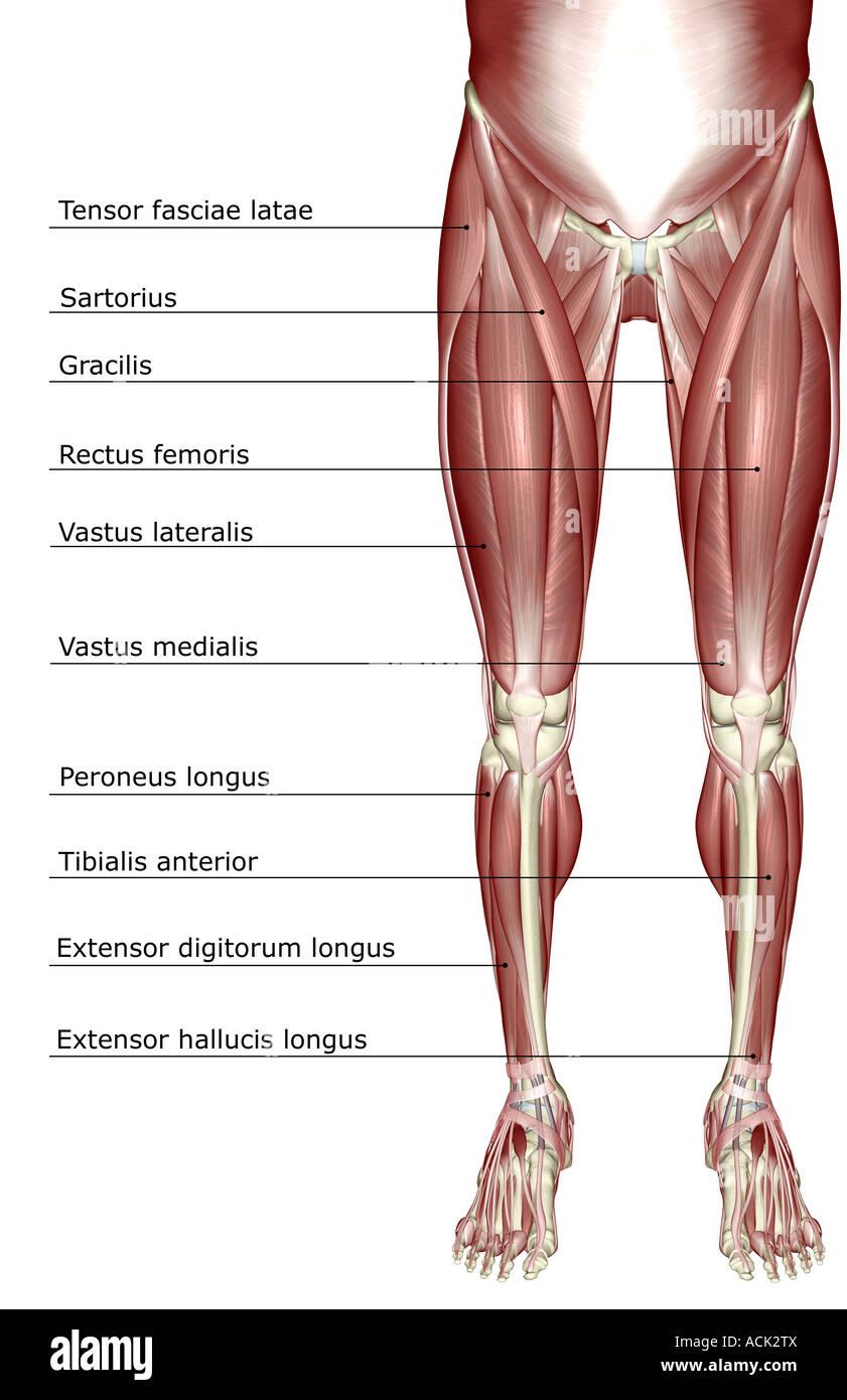 Fantastisch Muskeln Des Unteren Körpers Ideen - Anatomie Ideen ...