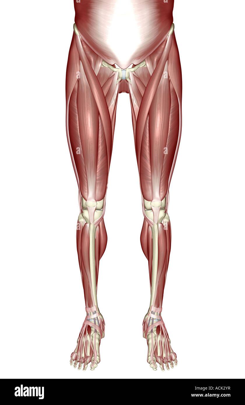 Großartig Untere Anatomie Körper Muskel Ideen - Menschliche Anatomie ...