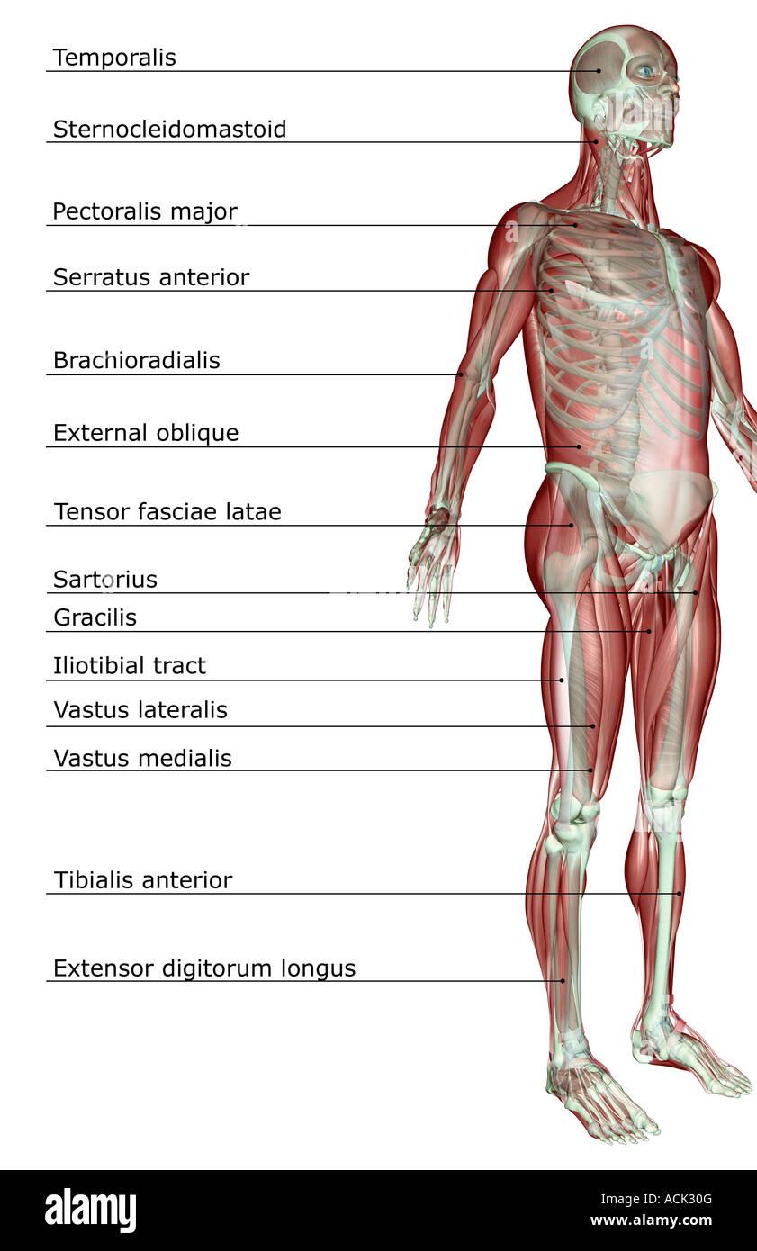 Das Muskel-Skelett-system Stockfoto, Bild: 13175343 - Alamy