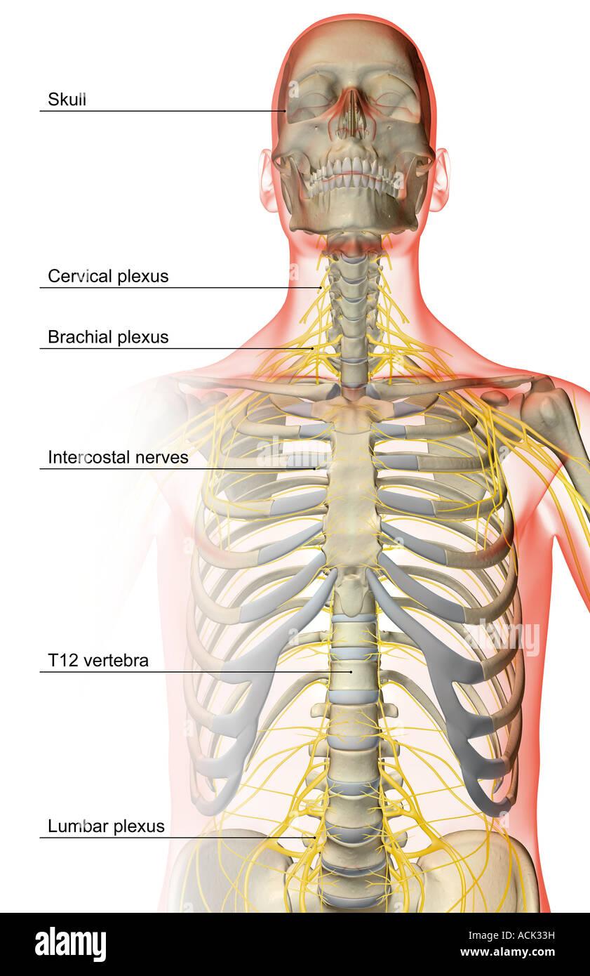 Die Nerven des Oberkörpers Stockfoto, Bild: 13175380 - Alamy