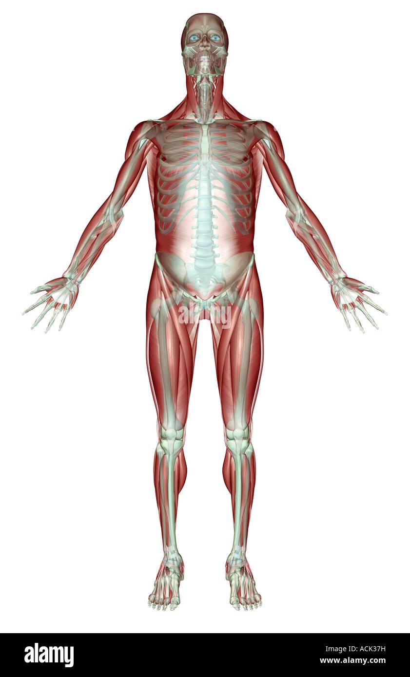 Gemütlich Muskel Skelett System Anatomie Bilder - Menschliche ...