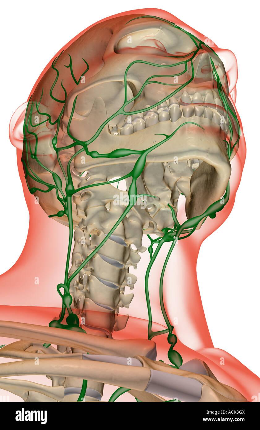 Großartig Lymphsystem Kopf Zeitgenössisch - Menschliche Anatomie ...