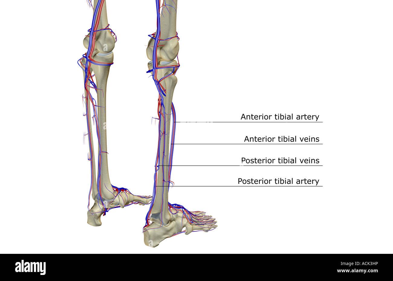 Das Blut-Versorgungsmaterial des Beines Stockfoto, Bild: 13175553 ...