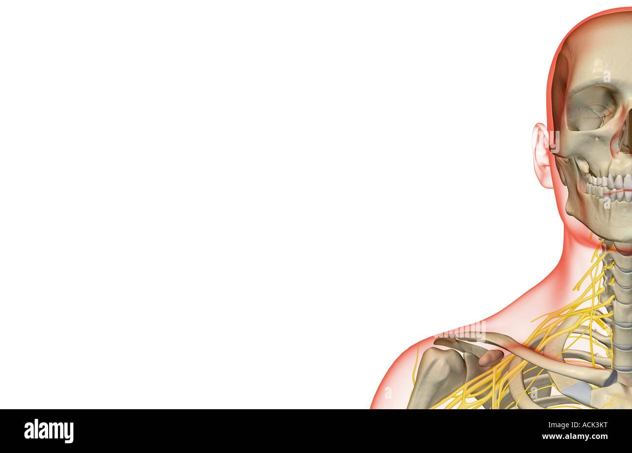 Fantastisch Hals Nasen Rachen Anatomie Zeitgenössisch - Anatomie ...