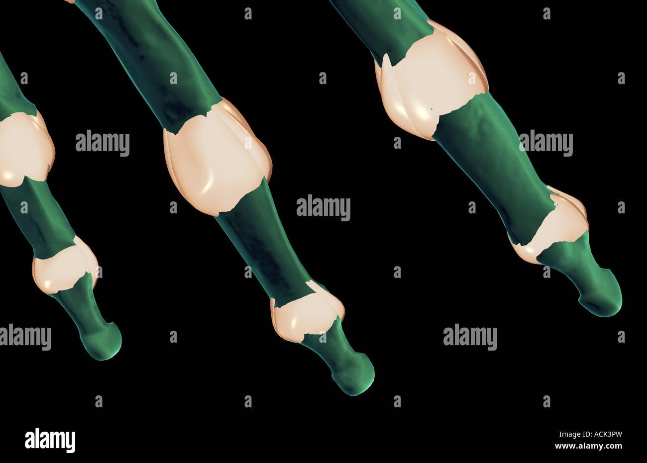 Die Bänder der Finger Stockfoto, Bild: 13175616 - Alamy