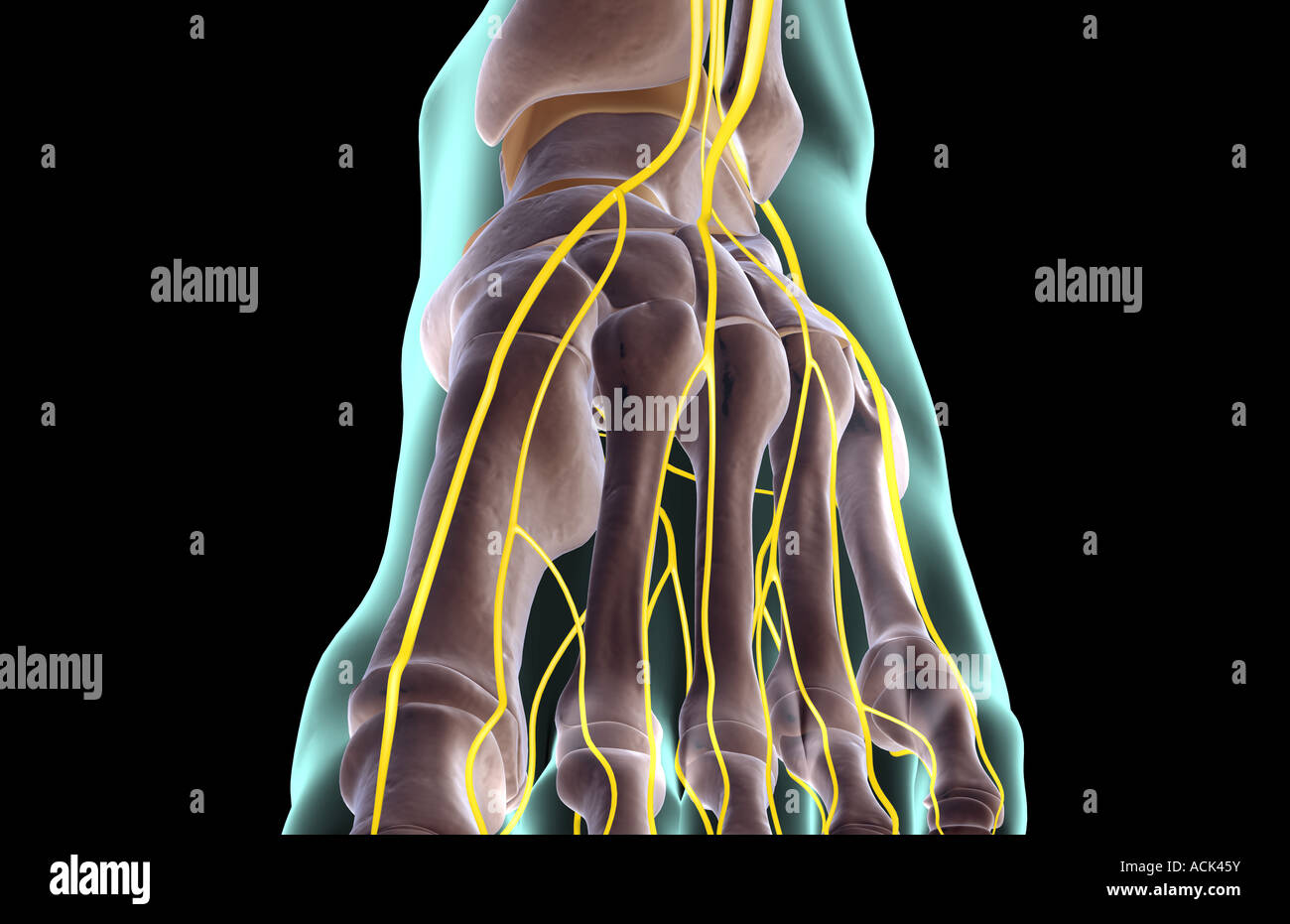 Die Nerven des Fußes Stockfoto, Bild: 13175750 - Alamy