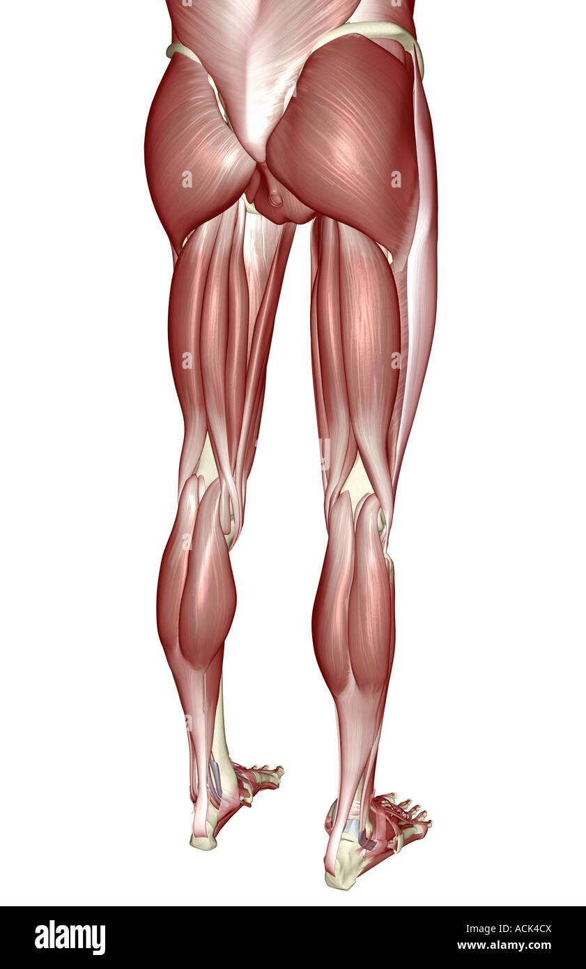 Berühmt Muskeln Des Unteren Körpers Galerie - Menschliche Anatomie ...