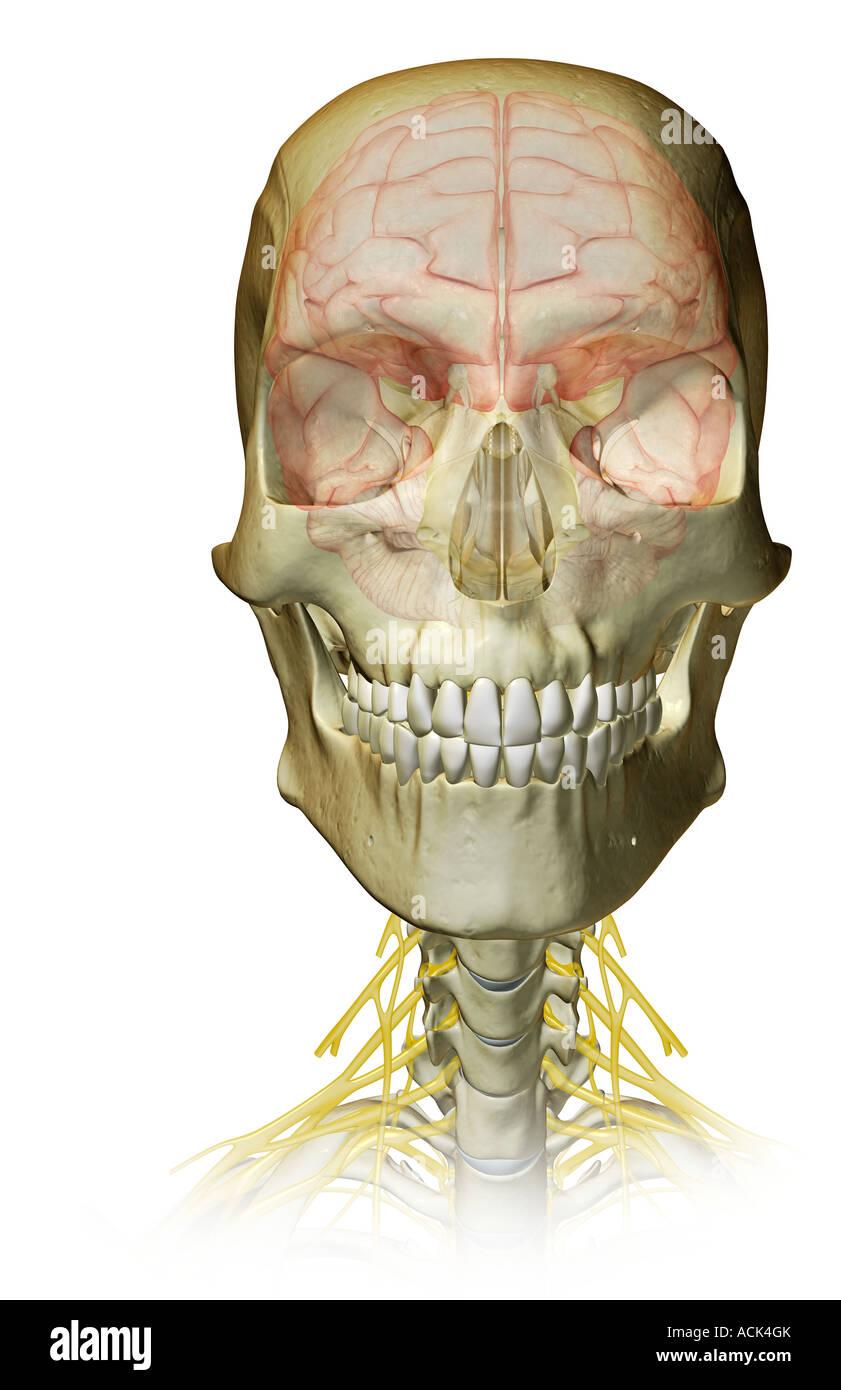 Ausgezeichnet Video Vorlesungen Kopf Und Hals Anatomie Bilder ...