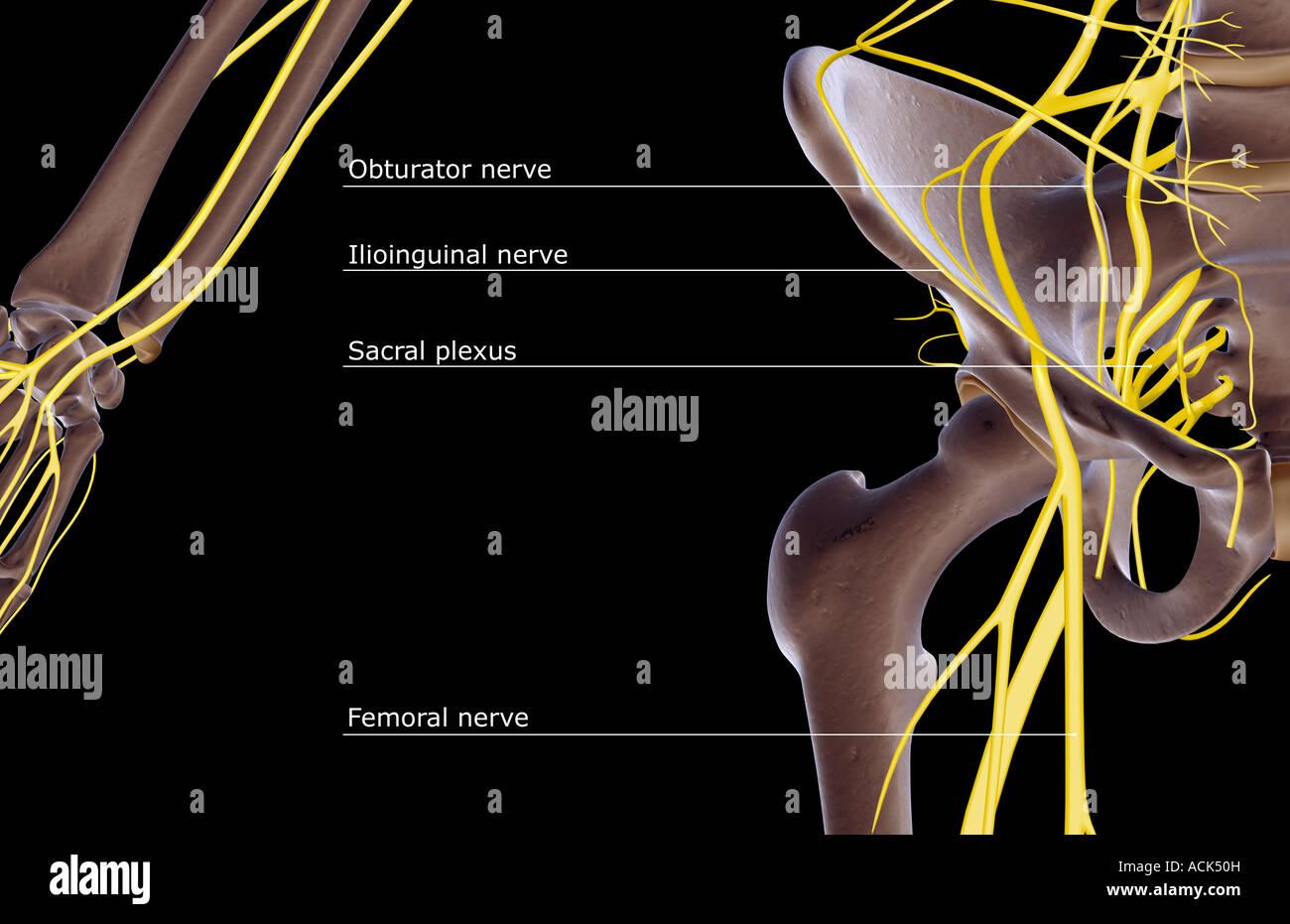 Ungewöhnlich Nerven Galerie - Anatomie Und Physiologie Knochen ...