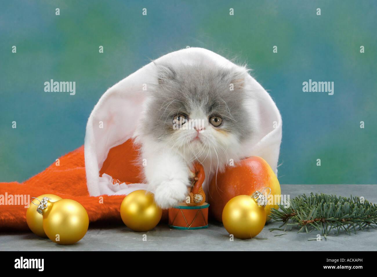 Perser Kätzchen in Santa Claus Kappe Stockbild