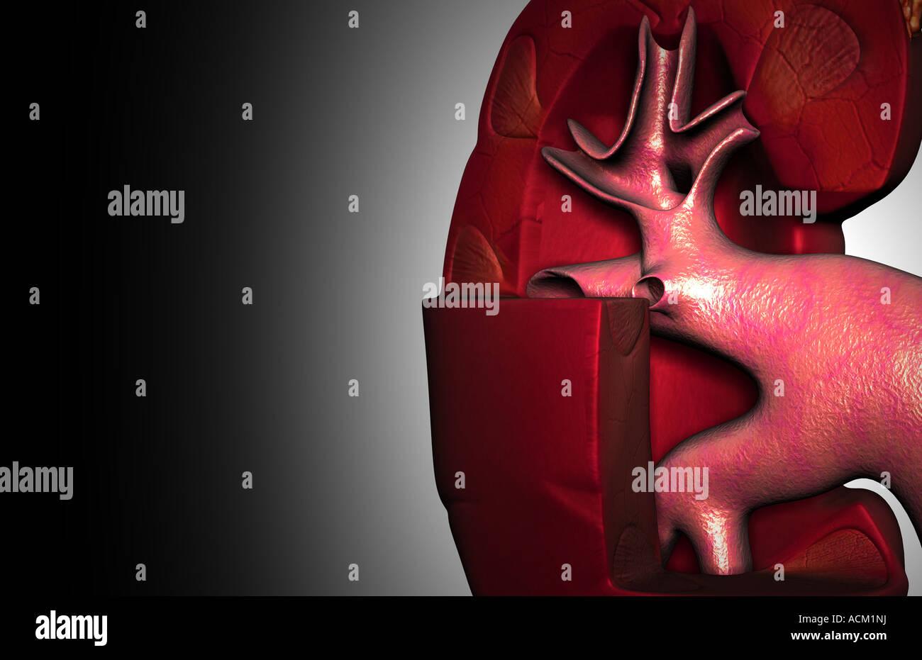 Groß Nierenstruktur Und Funktion Ideen - Menschliche Anatomie Bilder ...