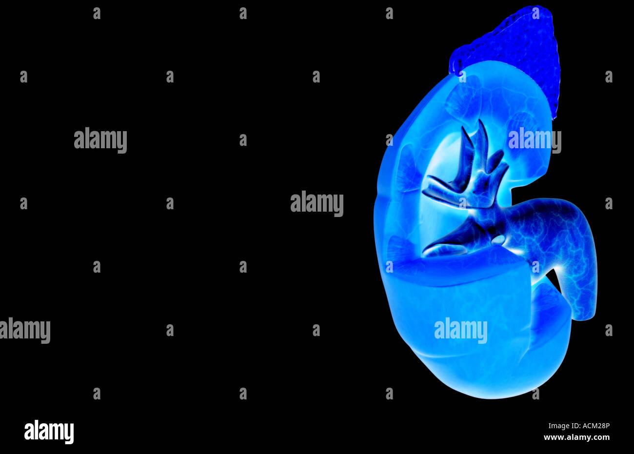Gemütlich Nierenstruktur Fotos - Menschliche Anatomie Bilder ...
