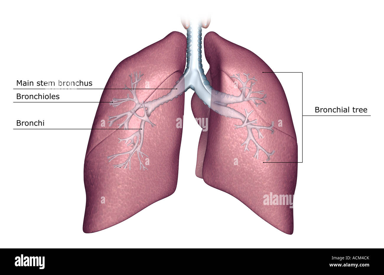 Berühmt Lunge Anatomie Diagramm Ideen - Anatomie Von Menschlichen ...