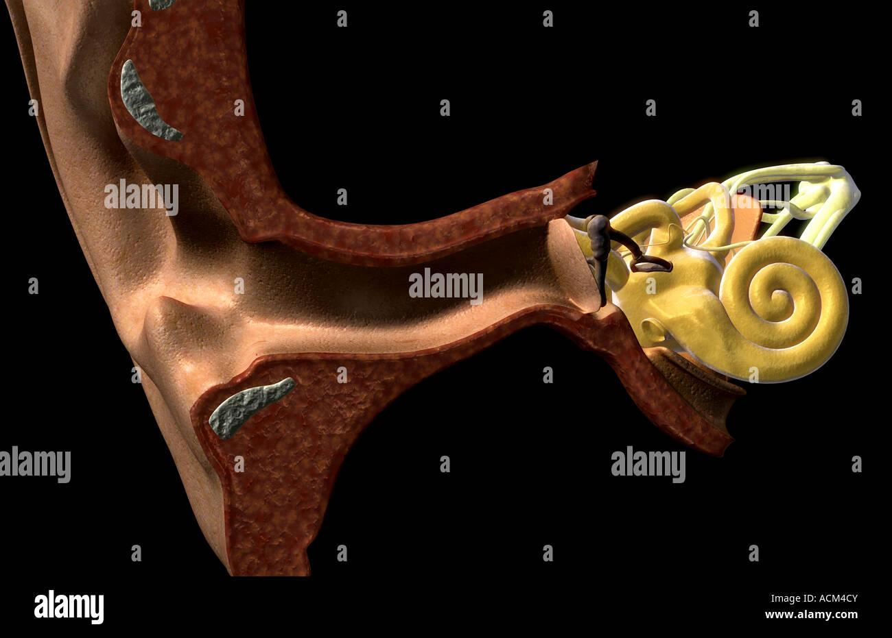 Schön Freie Oberfläche Definition Anatomie Bilder - Physiologie Von ...