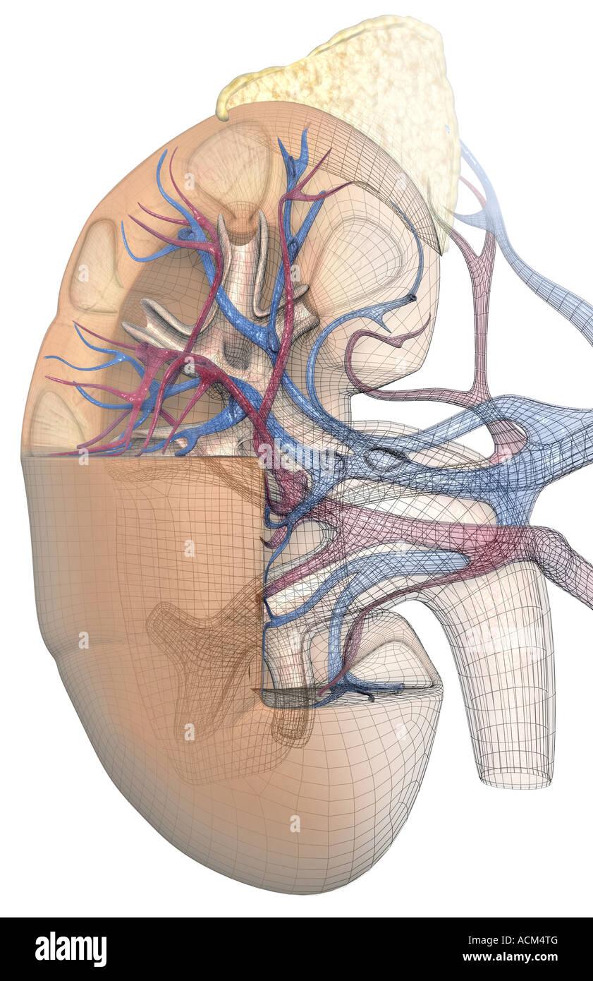 Gemütlich Anatomie Der Niere Ppt Ideen - Menschliche Anatomie Bilder ...