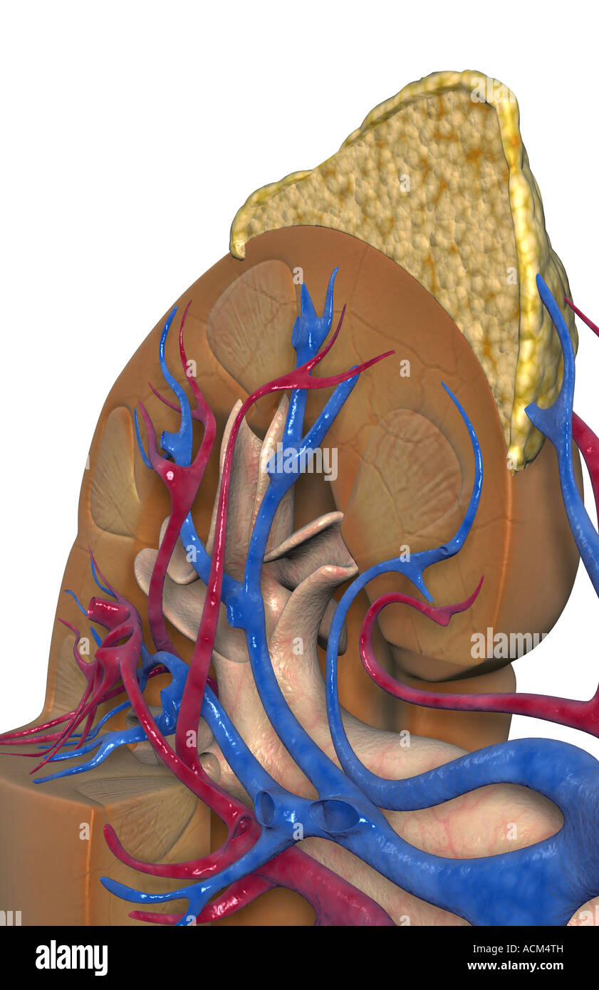 Human Kidney Anatomy Adrenal Gland Stockfotos & Human Kidney Anatomy ...