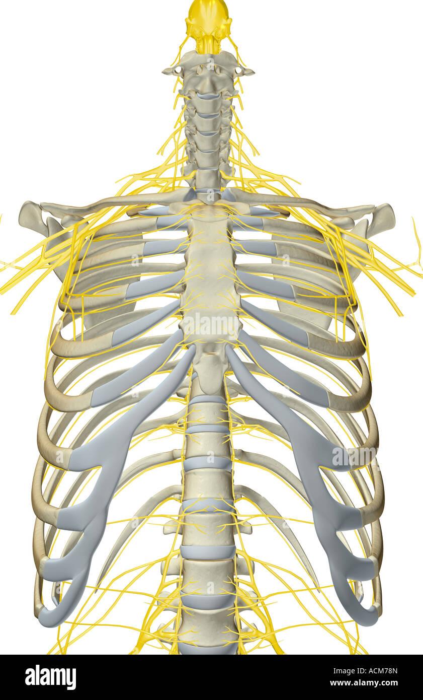 Transverse Nerve Stockfotos & Transverse Nerve Bilder - Alamy