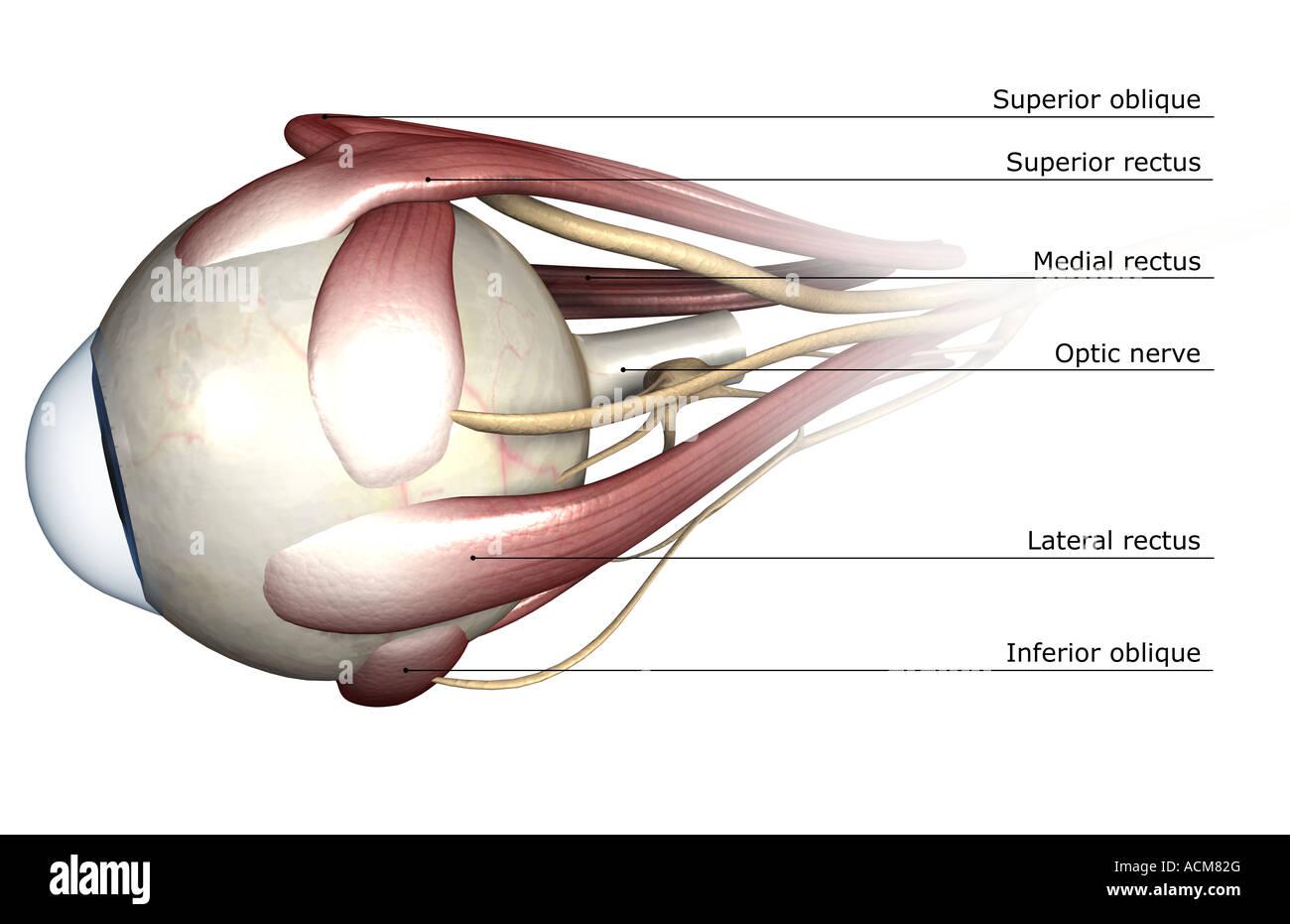 Schön Anatomie Des Auges Ppt Bilder - Anatomie Und Physiologie ...