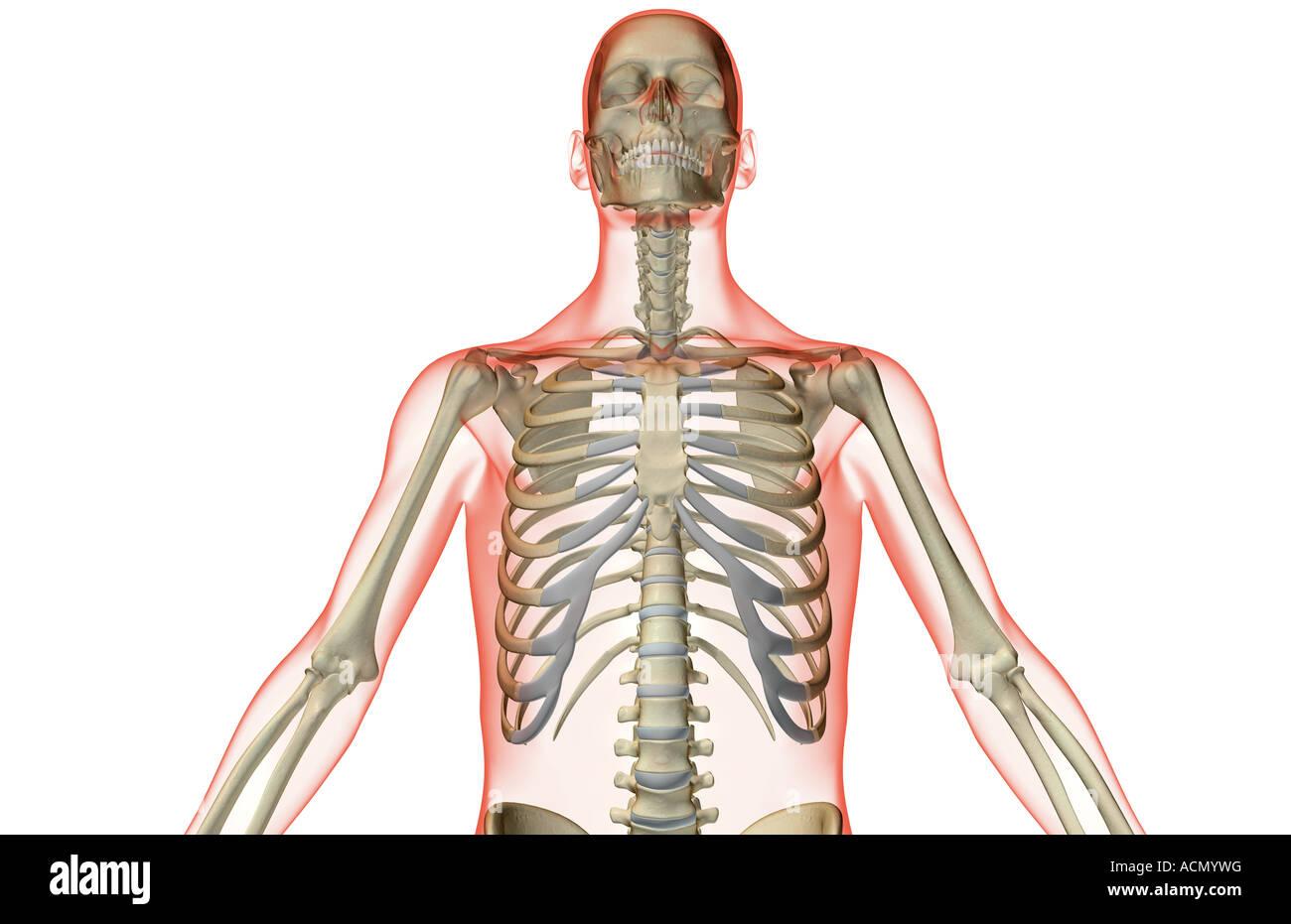 Ausgezeichnet Menschliche Anatomie Und Physiologie Knochen Studie ...