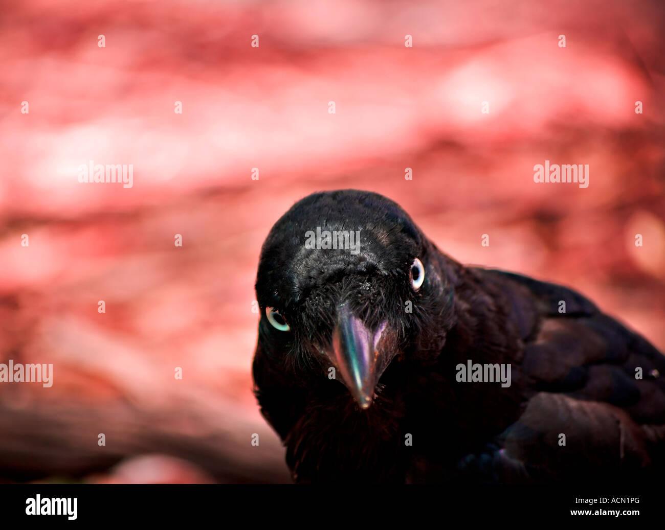 ein böse aussehende australische Rabe Krähe schaut fragend in die Kamera mit einem höllischen Hintergrund in rot Stockfoto