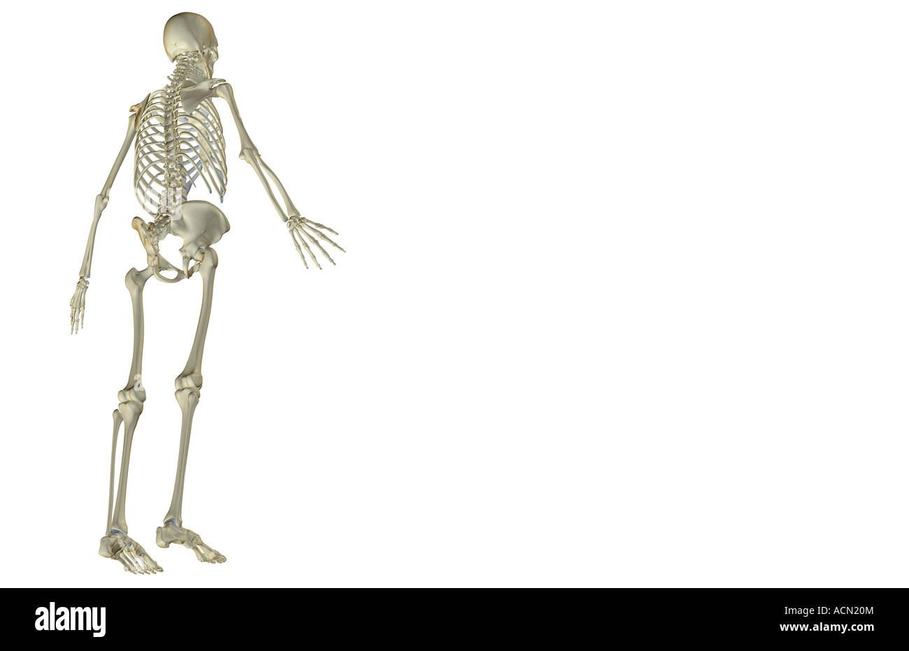 Groß Anatomie Skelett Systems Zeitgenössisch - Anatomie Ideen ...