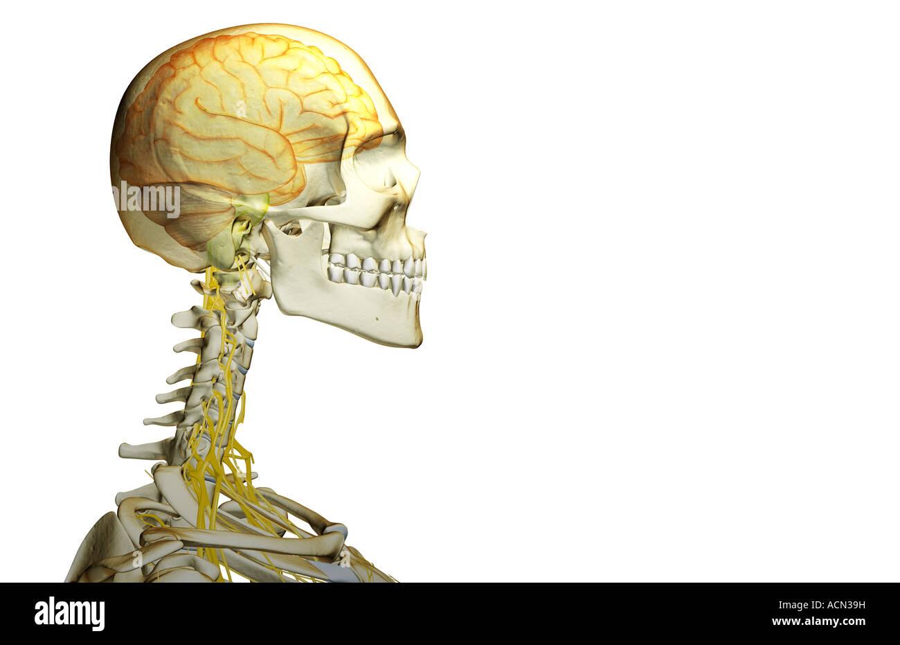 Die Nerven-Versorgung von Kopf und Hals Stockfoto, Bild: 13194268 ...