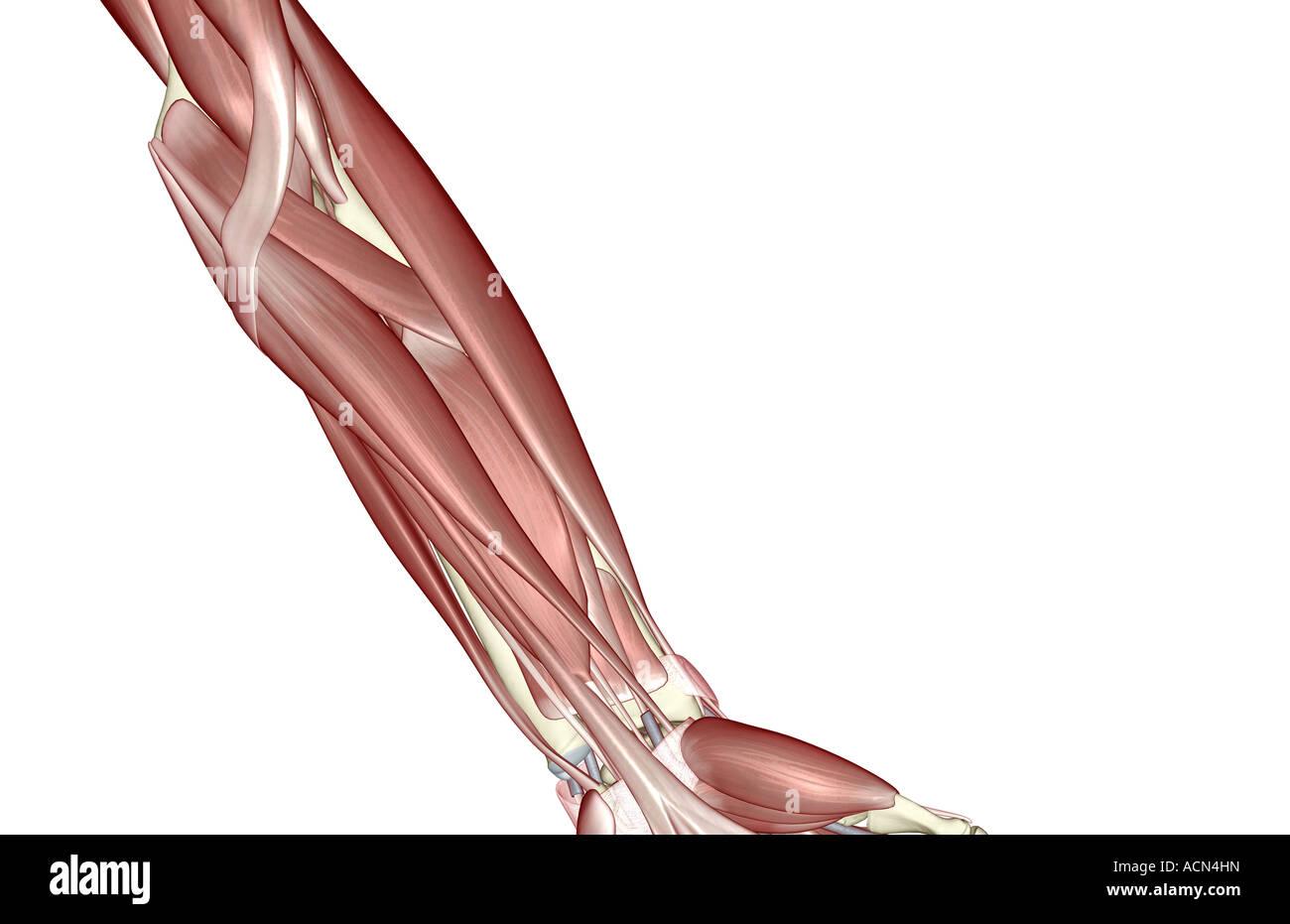 Fantastisch Muskeln Des Unterarms Galerie - Menschliche Anatomie ...