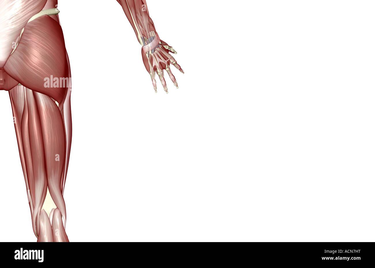 Groß Inneren Oberschenkel Muskelanatomie Ideen - Menschliche ...