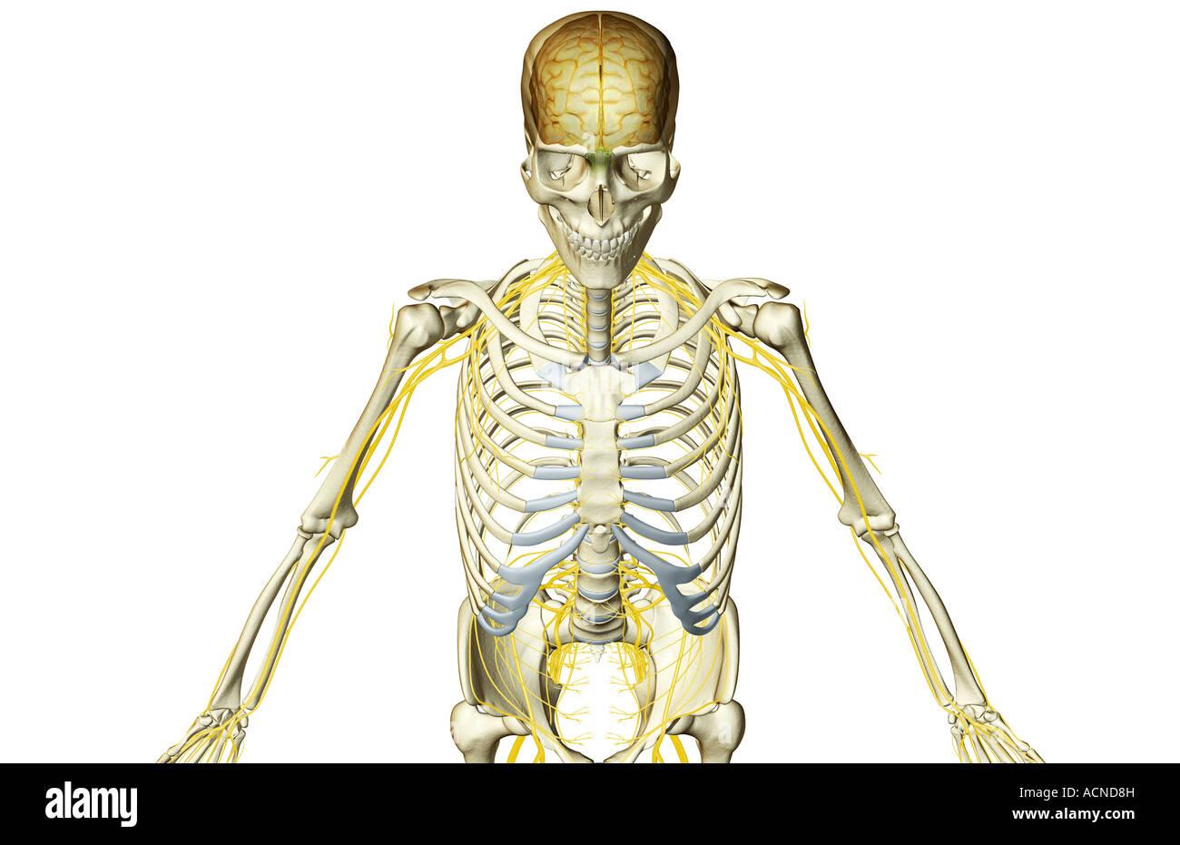 Die Nerven-Versorgung des Oberkörpers Stockfoto, Bild: 13197616 - Alamy