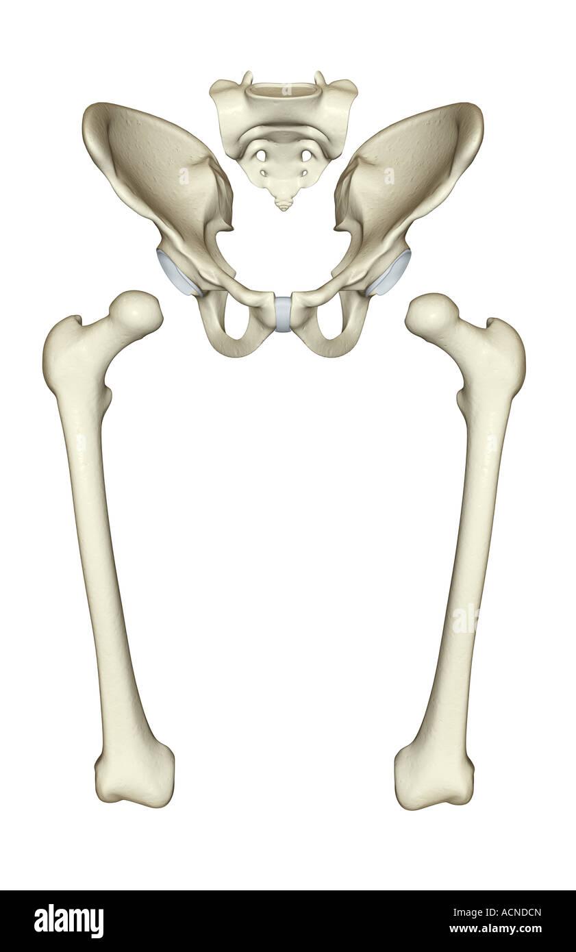 Pelvic Bones Stockfotos & Pelvic Bones Bilder - Alamy