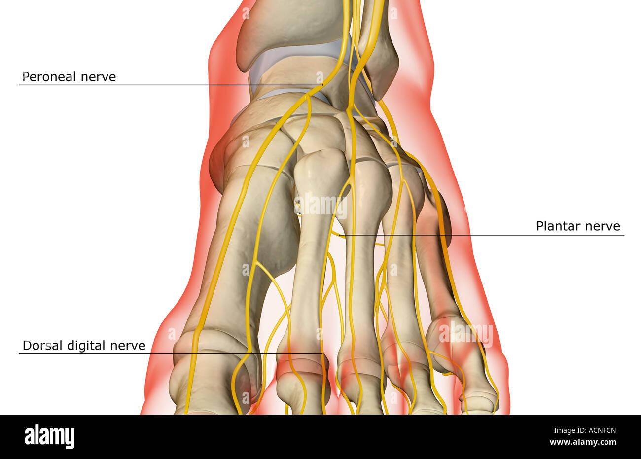 Die Nerven des Fußes Stockfoto, Bild: 13198340 - Alamy
