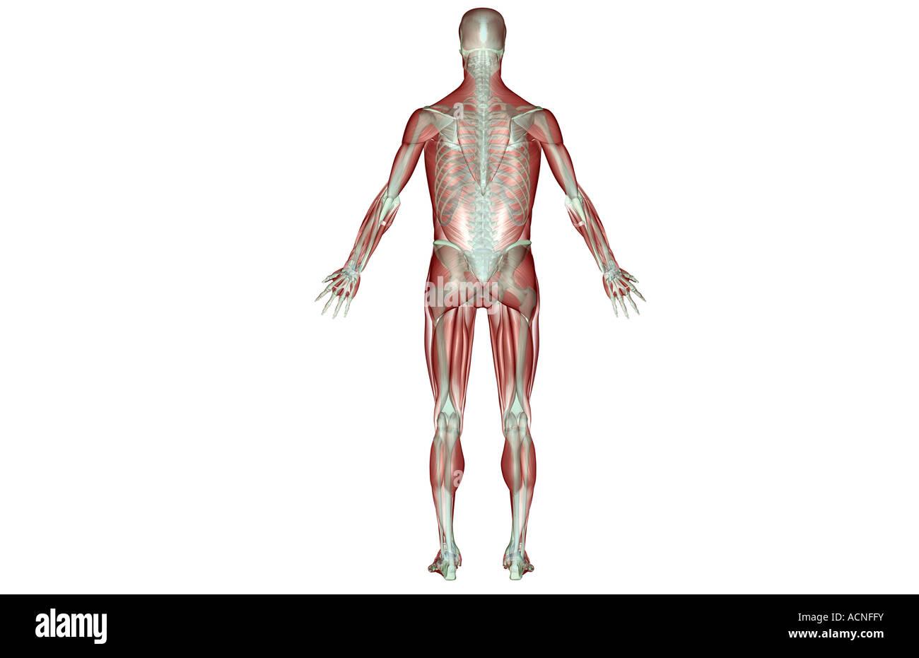 Das Muskel-Skelett-system Stockfoto, Bild: 13198382 - Alamy