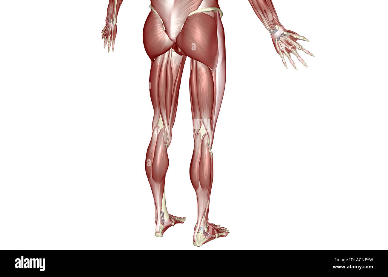 Lower Back Muscles Stockfotos & Lower Back Muscles Bilder - Alamy