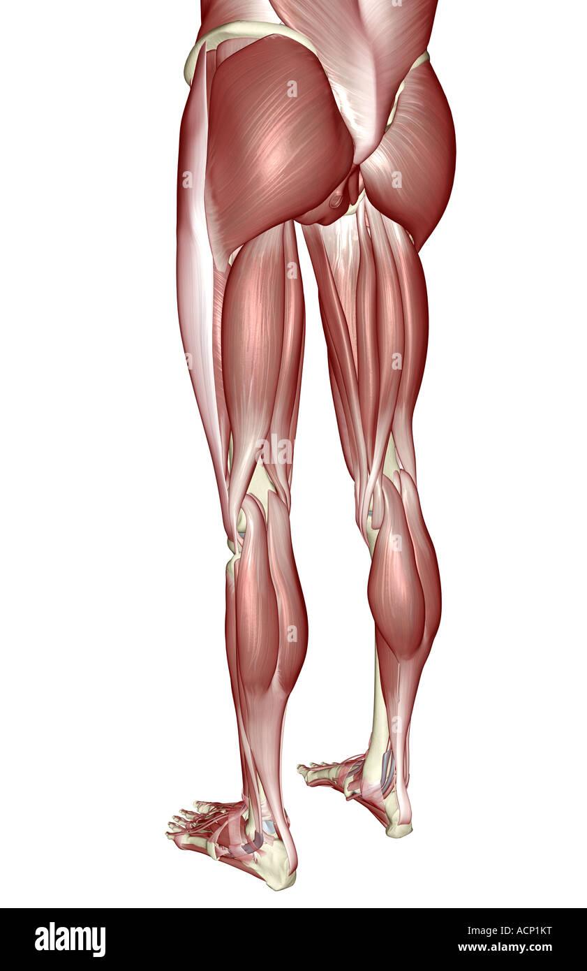 Nett Untere Extremität Anatomie Muskeln Zeitgenössisch - Menschliche ...
