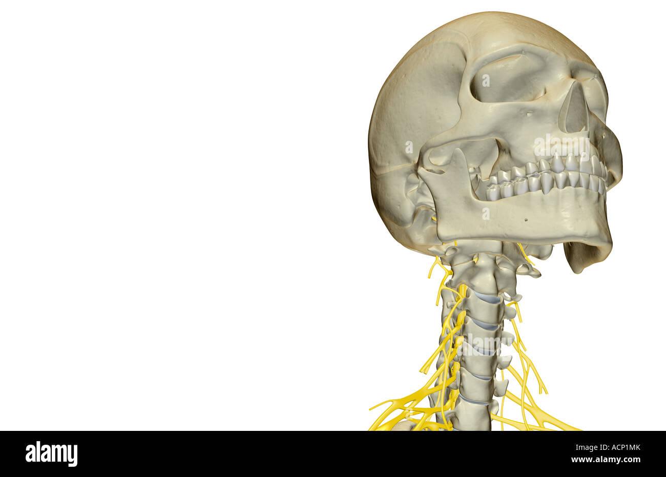 Beste Nerven Des Halses Ideen - Menschliche Anatomie Bilder ...