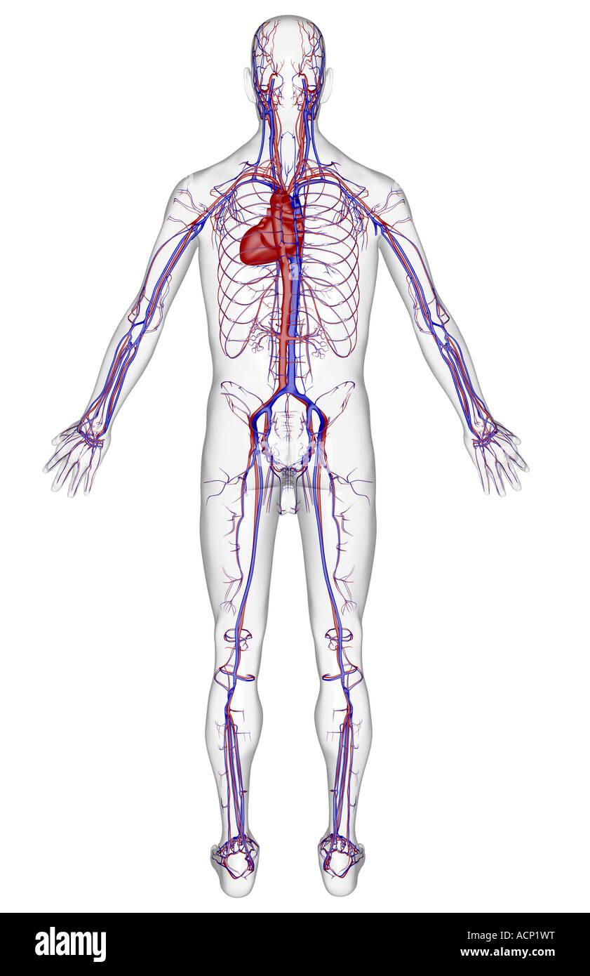 Beste Gefßsystem Fotos - Menschliche Anatomie Bilder - madeinkibera.com