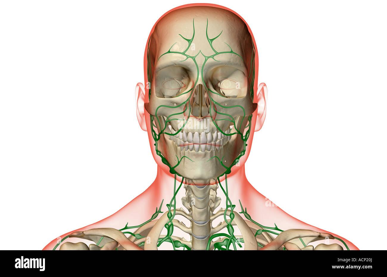 Ausgezeichnet Kopf In Der Anatomie Fotos - Menschliche Anatomie ...