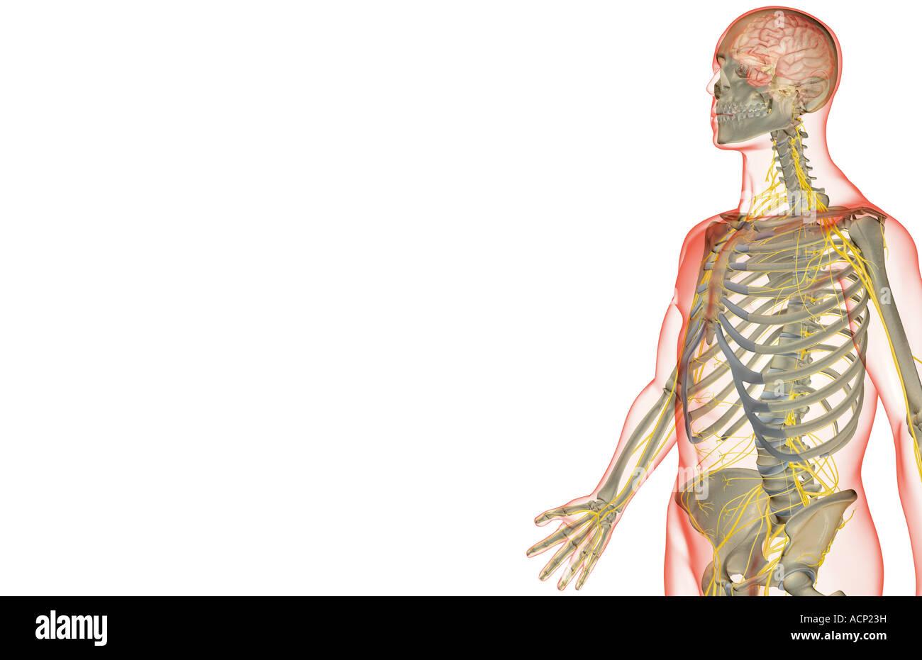 Die Nerven-Versorgung des Oberkörpers Stockfoto, Bild: 13203268 - Alamy