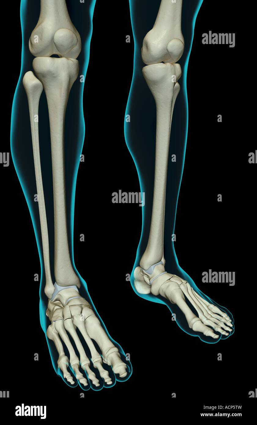 Charmant Anatomie Und Physiologie Des Beines Ideen - Menschliche ...