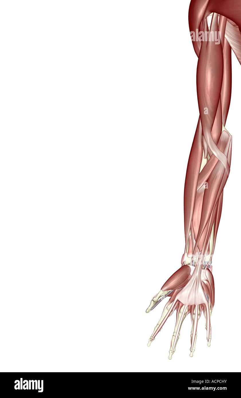 Die Muskeln der oberen Extremität Stockfoto, Bild: 13206806 - Alamy