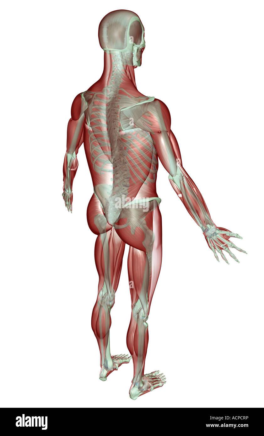 Das Muskel-Skelett-system Stockfoto, Bild: 13206873 - Alamy