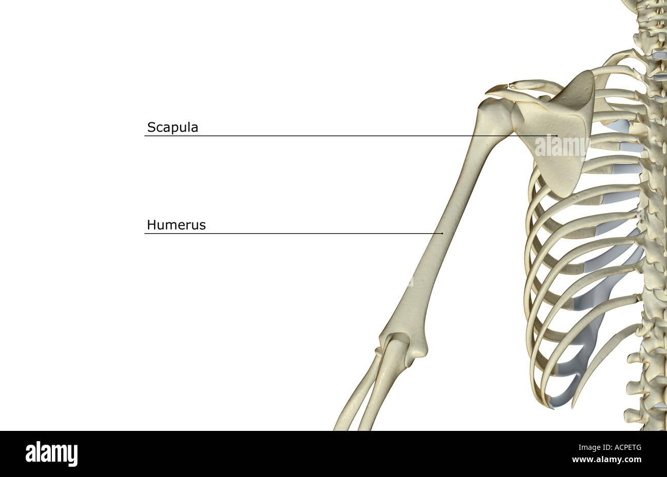 Shoulder Blade Arm Bones Scapula Stockfotos & Shoulder Blade Arm ...