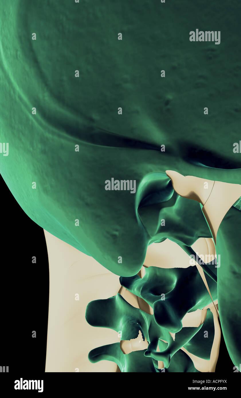 Die Bänder im Nacken Stockfoto, Bild: 13207933 - Alamy