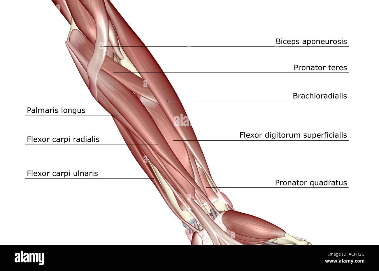 Wunderbar Muskeln Des Unterarms Und Der Hand Ideen - Physiologie Von ...